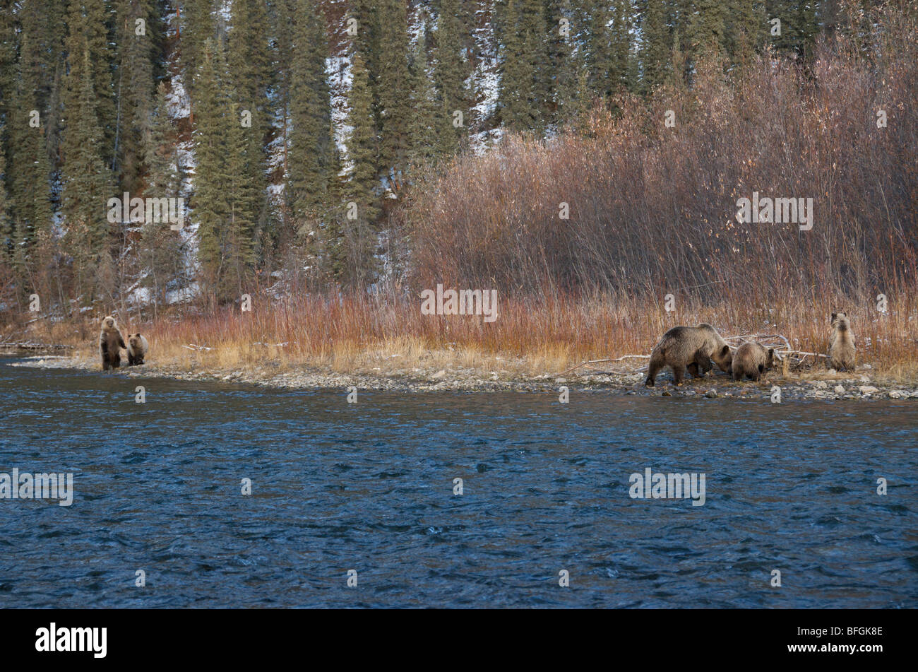 Grizzly Bear (Ursus arctos) Sow and 1st year cubs along Fishing Branch River. Ni'iinlii Njik Ecological Reserve - Stock Image