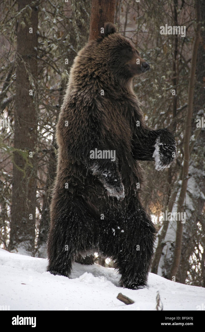 Grizzly Bear (Ursus arctos) rubbing against a tree trunk to deposit/acquire scent. Fishing Branch River Ni'iinlii - Stock Image
