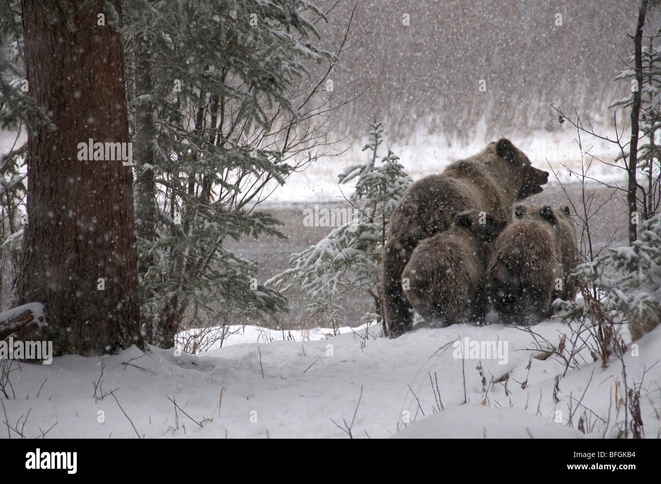 Grizzly Bear (Ursus arctos) sow and 1st year cubs walking through snowy forest. Fishing Branch River Ni'iinlii Njik Stock Photo