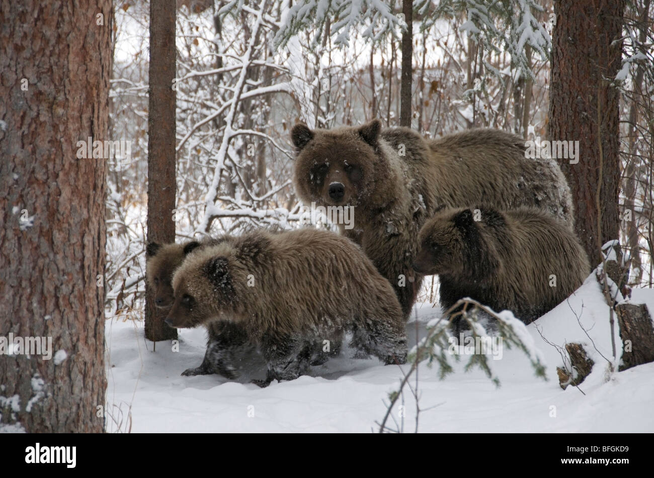 Grizzly Bear (Ursus arctos) sow and 1st year cubs walking through snowy forest. Fishing Branch River Ni'iinlii - Stock Image