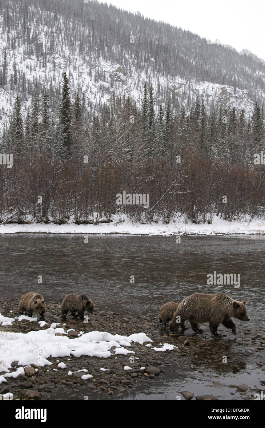 Grizzly Bear (Ursus arctos) sow and 1st year cubs. Fishing Branch River Ni'iinlii Njik Ecological Reserve Yukon Stock Photo