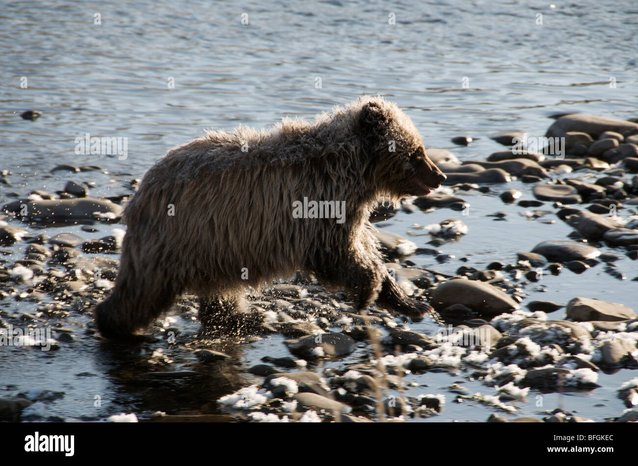 Grizzly Bear 1st Year Cub (Ursus arctos). Fishing Branch River, Ni'iinlii Njik Ecological Reserve, Yukon Territory, - Stock Image