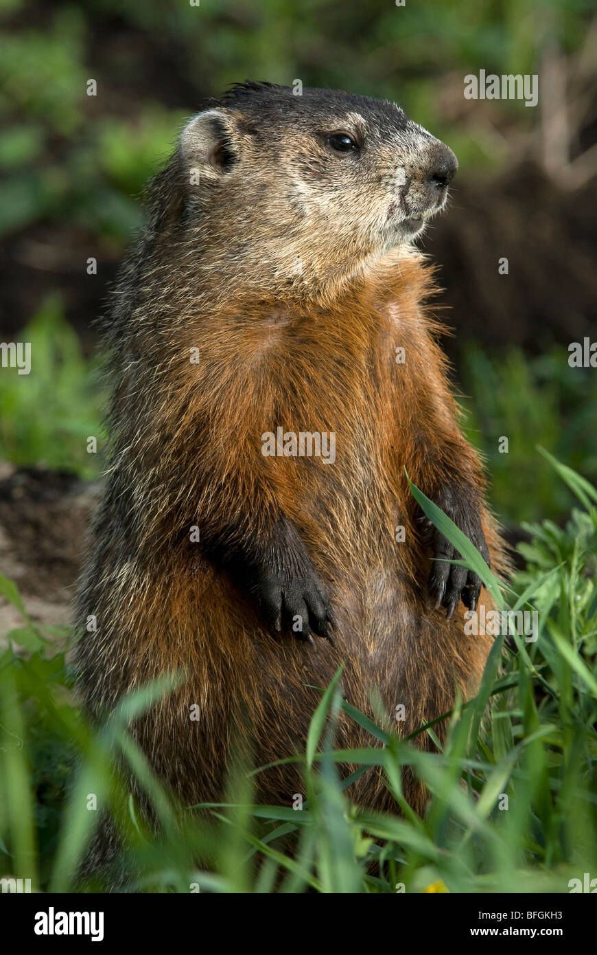 Groundhog (Marmota monax) sitting in summer meadow, Ontario, Canada - Stock Image