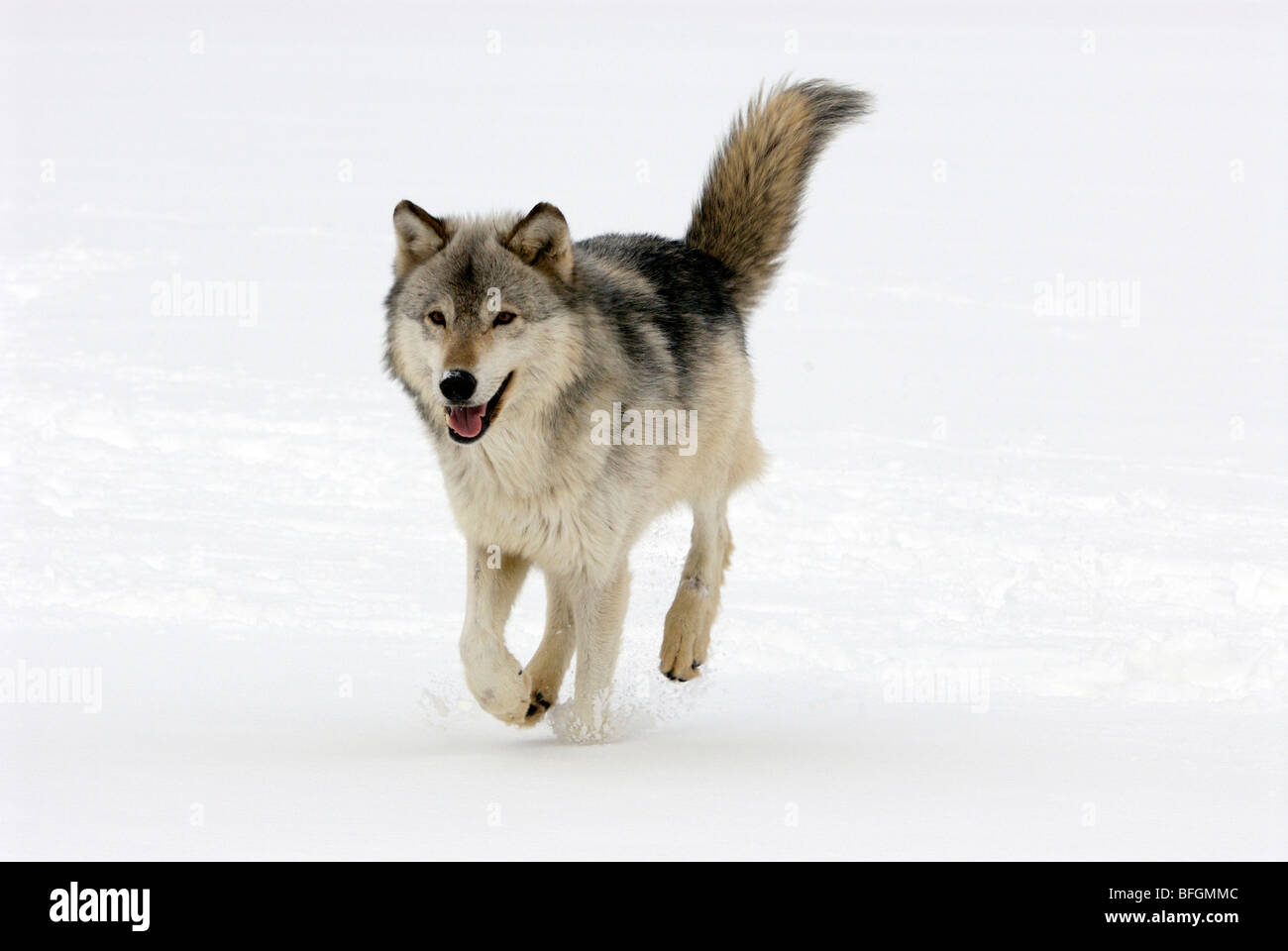 Gray wolf (Canis lupus) or timber wolf running in snow during winter. Minnesota, USA - Stock Image