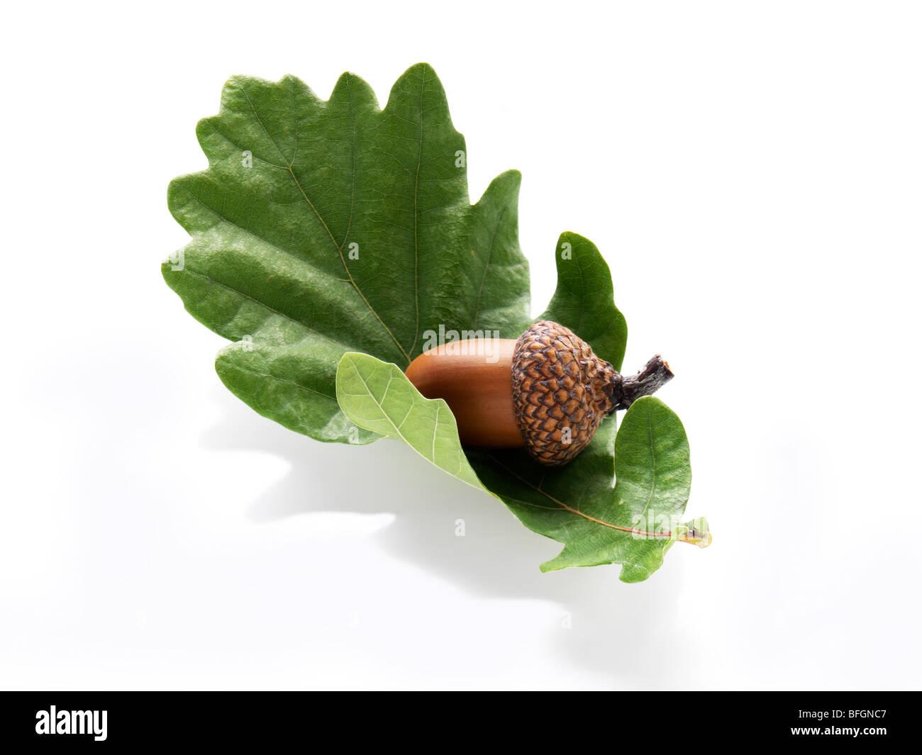 Acorn resting on oak leaf Stock Photo