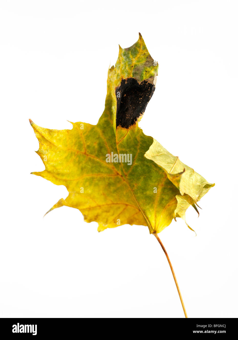 Close-up of diseased maple leaf - Stock Image