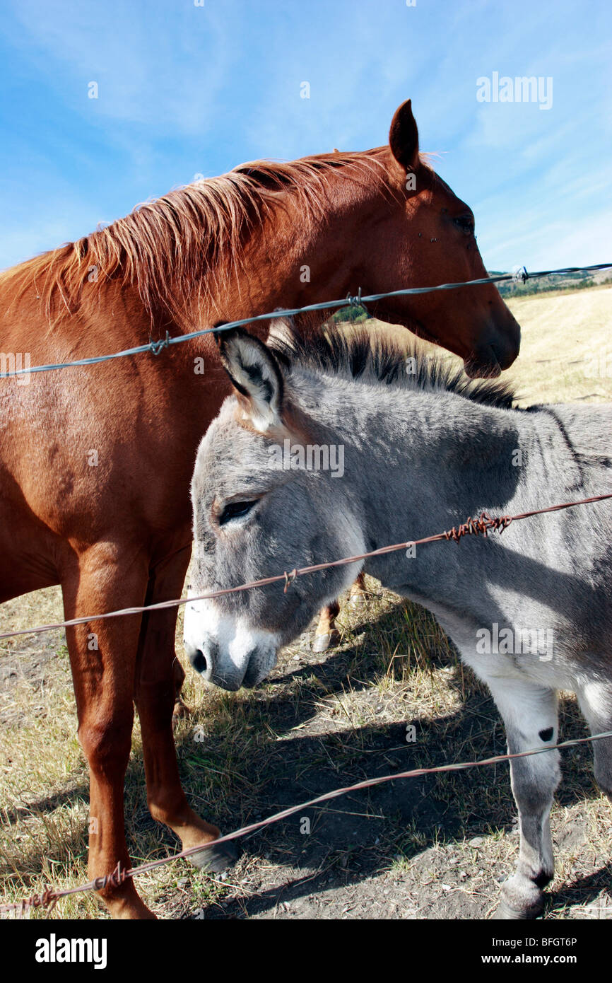Horse and mule next to barb wire fence near Pincher Creek, Alberta, Canada - Stock Image