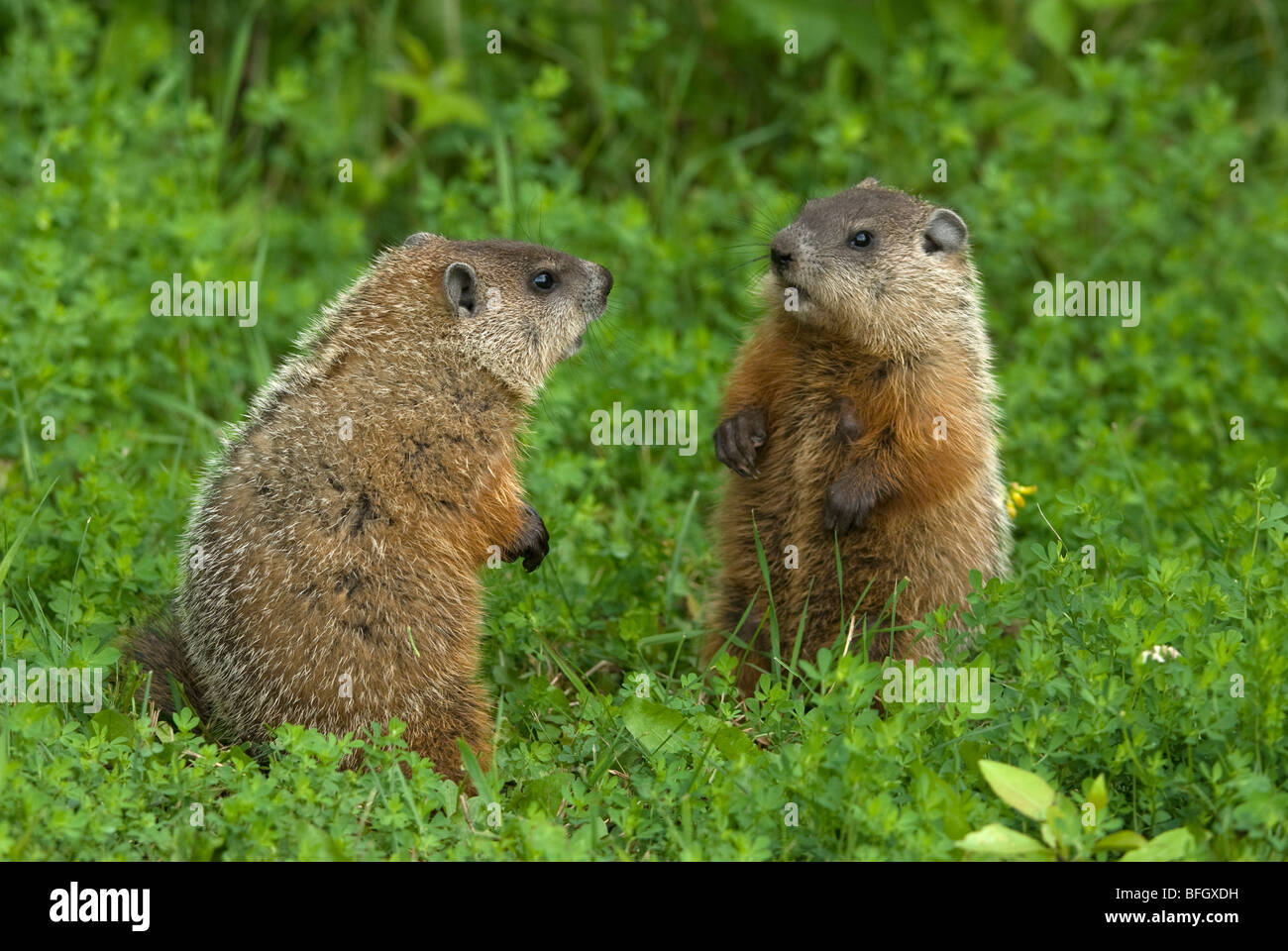 Groundhog (Marmota monax) siblings in green summer meadow, Ontario, Canada - Stock Image