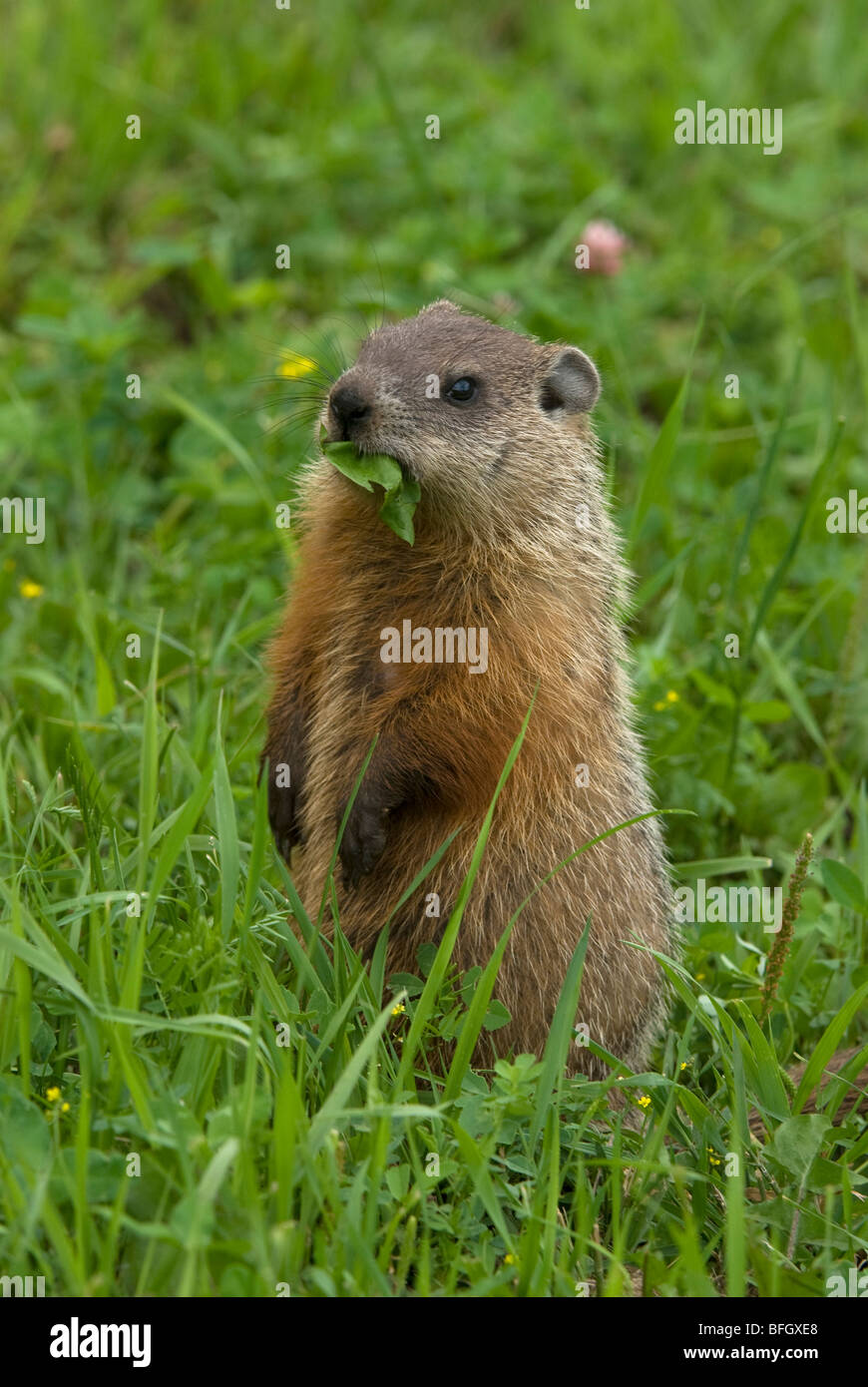 Groundhog (Marmota monax) feeding on dandelion leaf in green summer meadow, Ontario, Canada - Stock Image