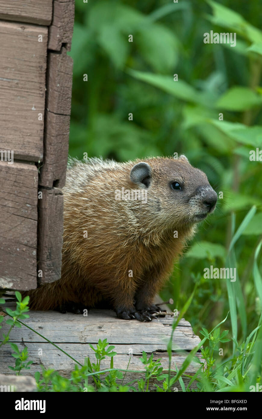 Groundhog (Marmota monax) next to outdoor building, Ontario, Canada - Stock Image