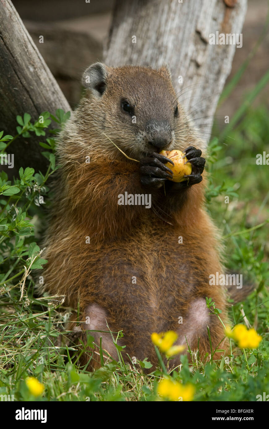 Groundhog (Marmota monax) feeding on piece of apple, Ontario, Canada - Stock Image