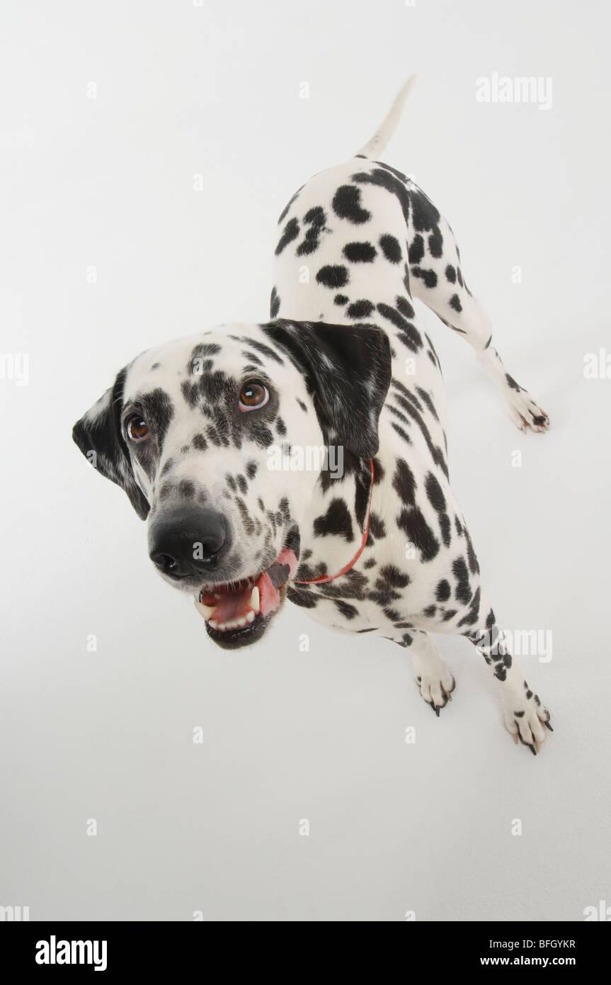 Dalmatian Dog - Stock Image