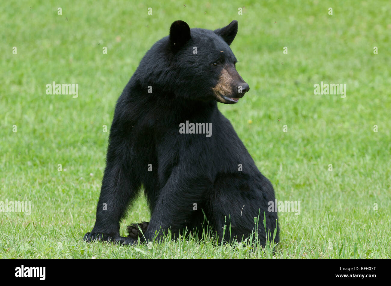 A wild male Black Bear (Ursus americanus) with flies buzzing around his head in Sleeping Giant Provincial Park, - Stock Image