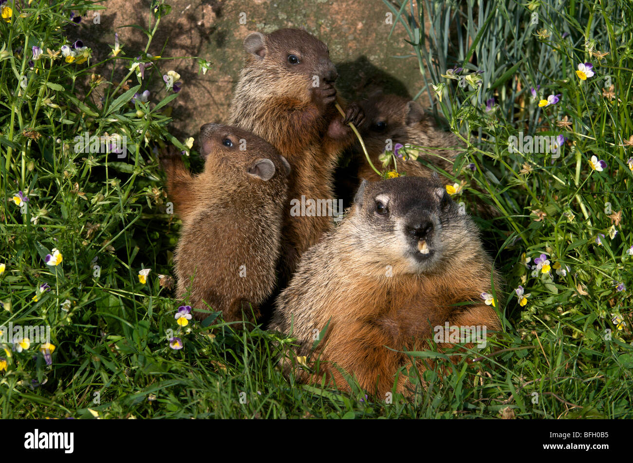 Mother and baby woodchucks ((Marmota monax), North America - Stock Image