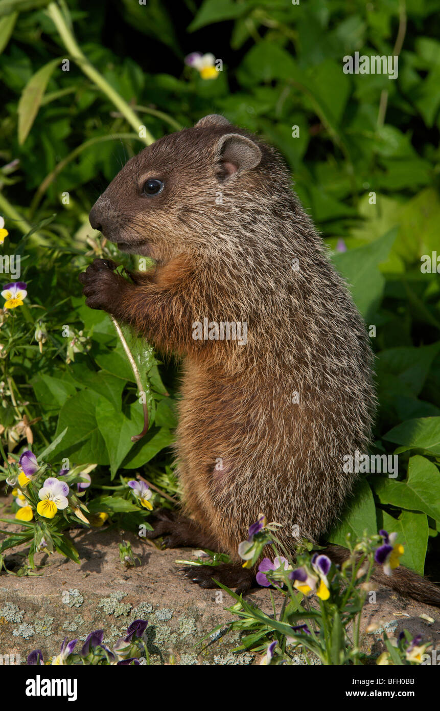 Young woodchuck (Marmota monax) eating spring grasses with wild violets all around. - Stock Image