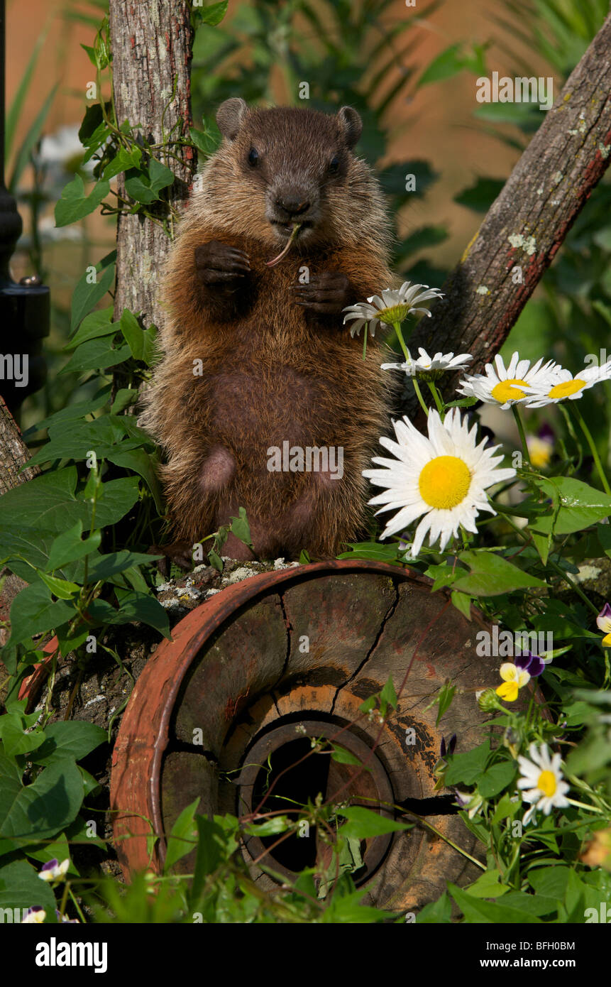 Young woodchuck (Marmota monax) sitting on old wagonwheel eating vegetation. - Stock Image