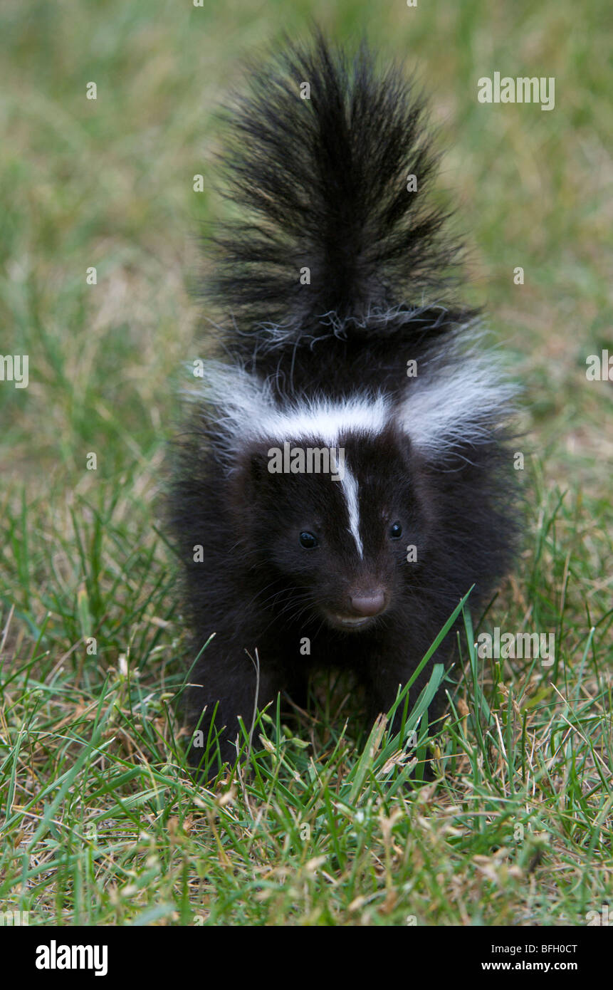 Striped Skunk (Mephitis mephitis) young with tail lifted in a warning before spraying Grand Portage National Monument - Stock Image