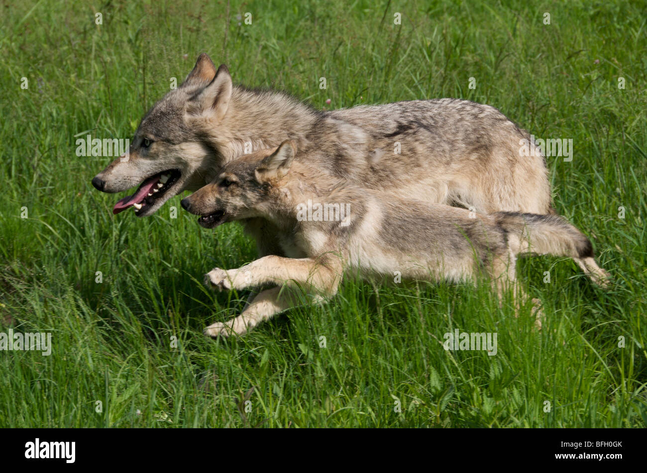 Wolf Pup and parent (Canus lupus) running in Boundary Waters
