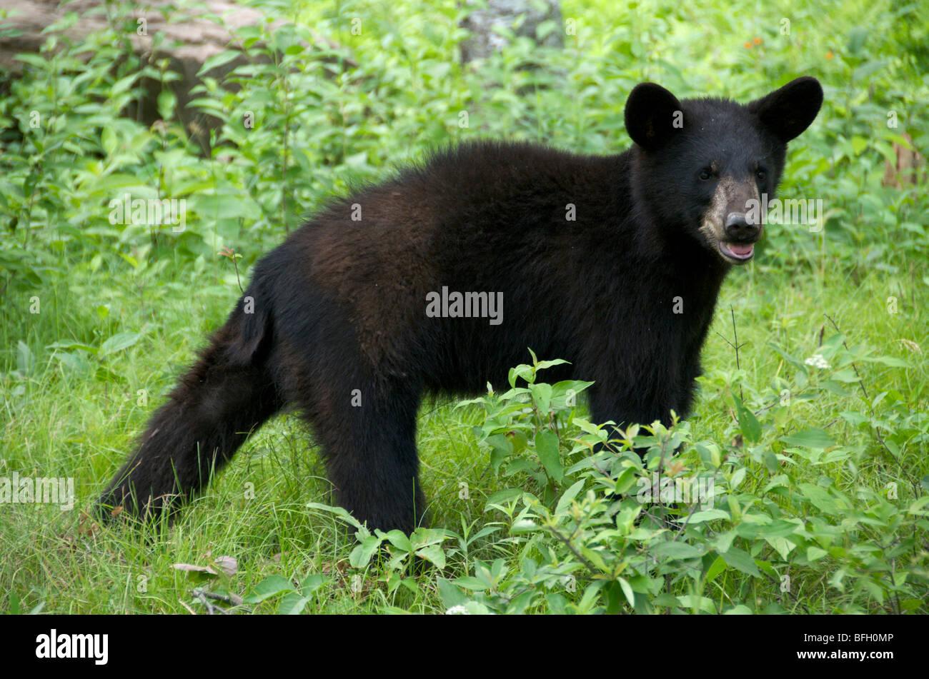 A wild male Black Bear (Ursus americanus) in Sleeping Giant Provincial Park, Ontario, Canada - Stock Image