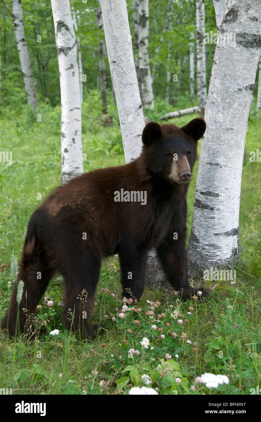 A wild male Black Bear (Ursus americanus) standing next to aspen trees in Sleeping Giant Provincial Park, Ontario, Stock Photo