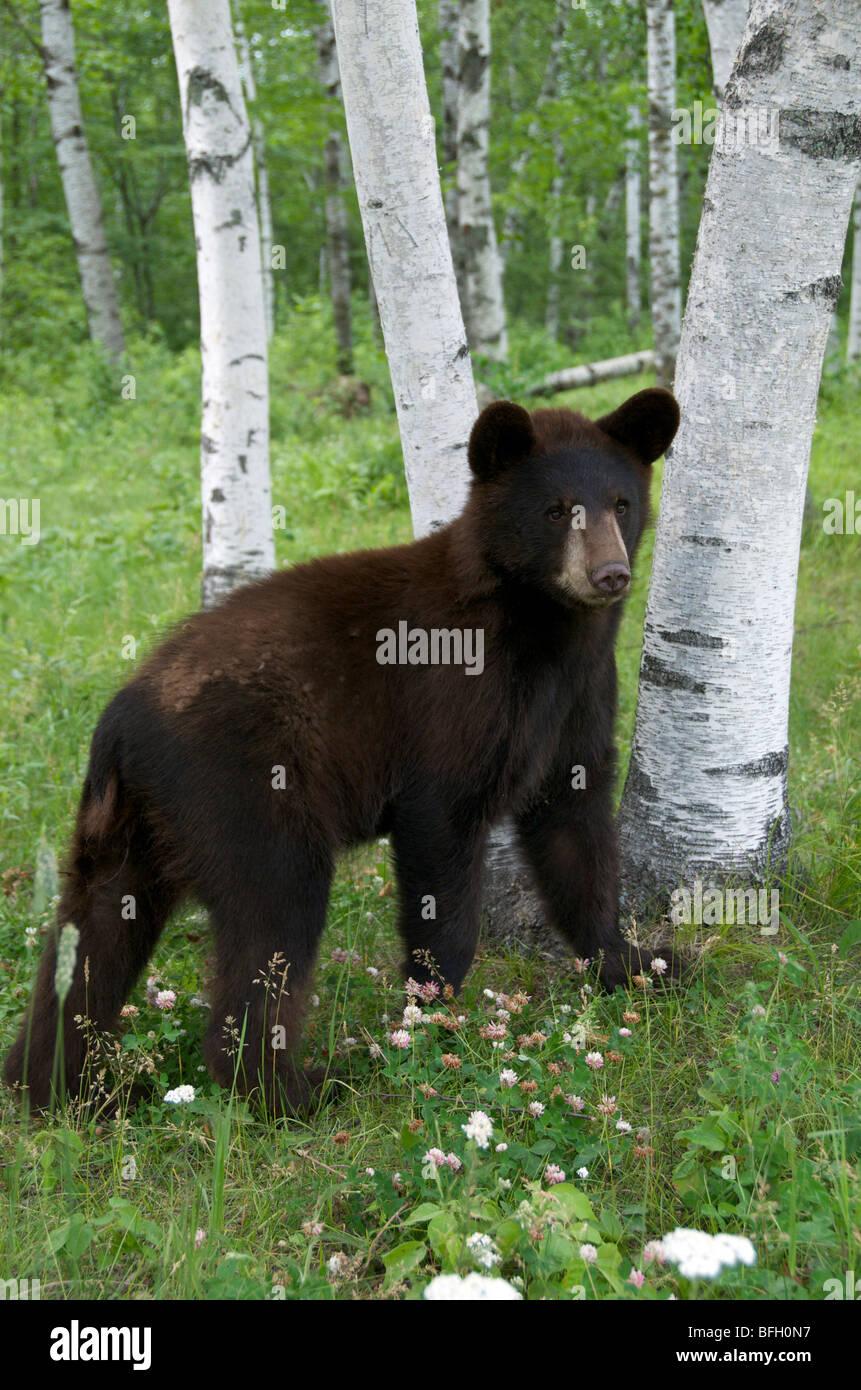 A wild male Black Bear (Ursus americanus) standing next to aspen trees in Sleeping Giant Provincial Park, Ontario, Stock Photo
