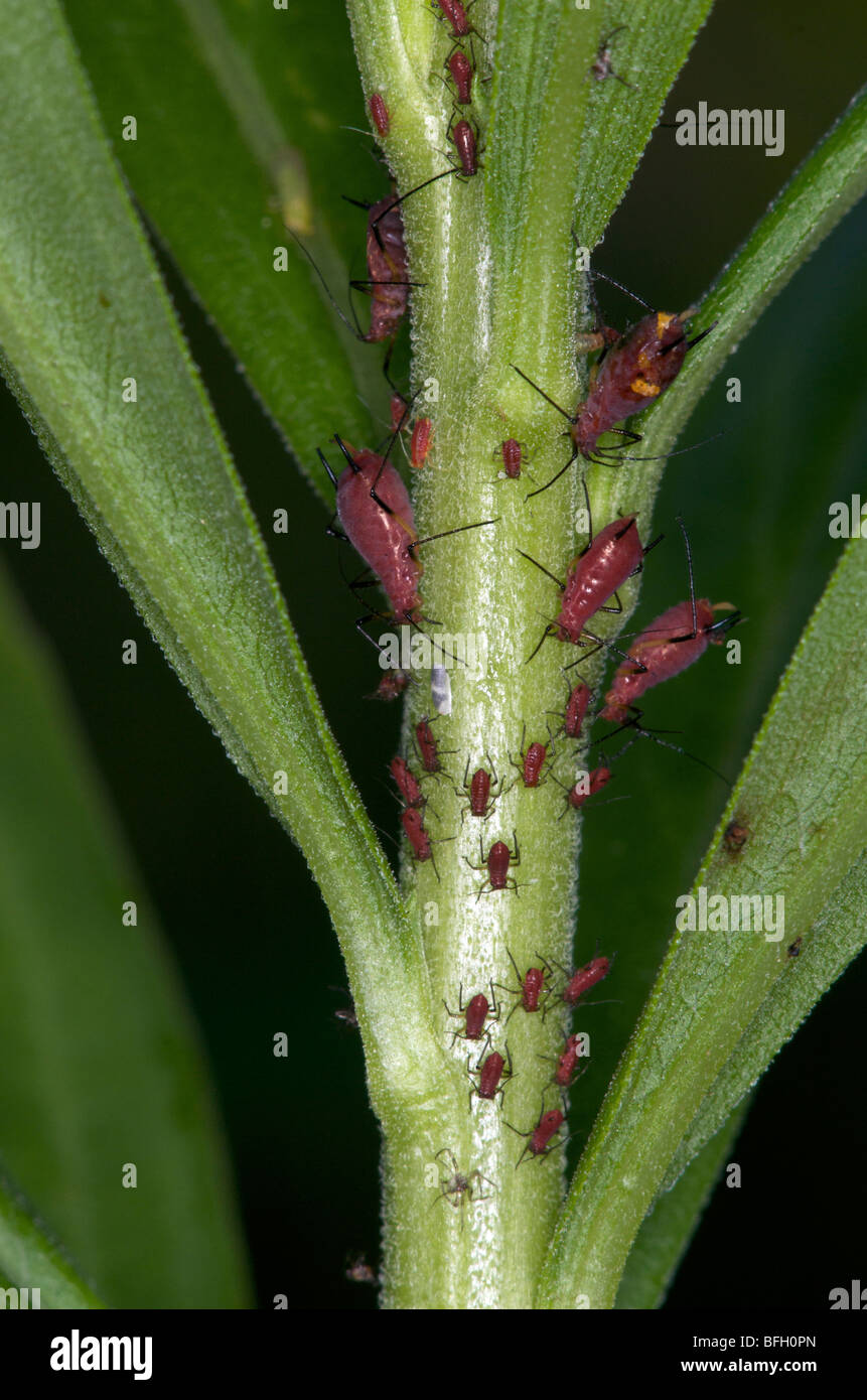 Relatively rare aphids (uroleucon nigrotuberculatum) feeding on tall goldenrod (Solidago canadensis) Sleeping Giant - Stock Image