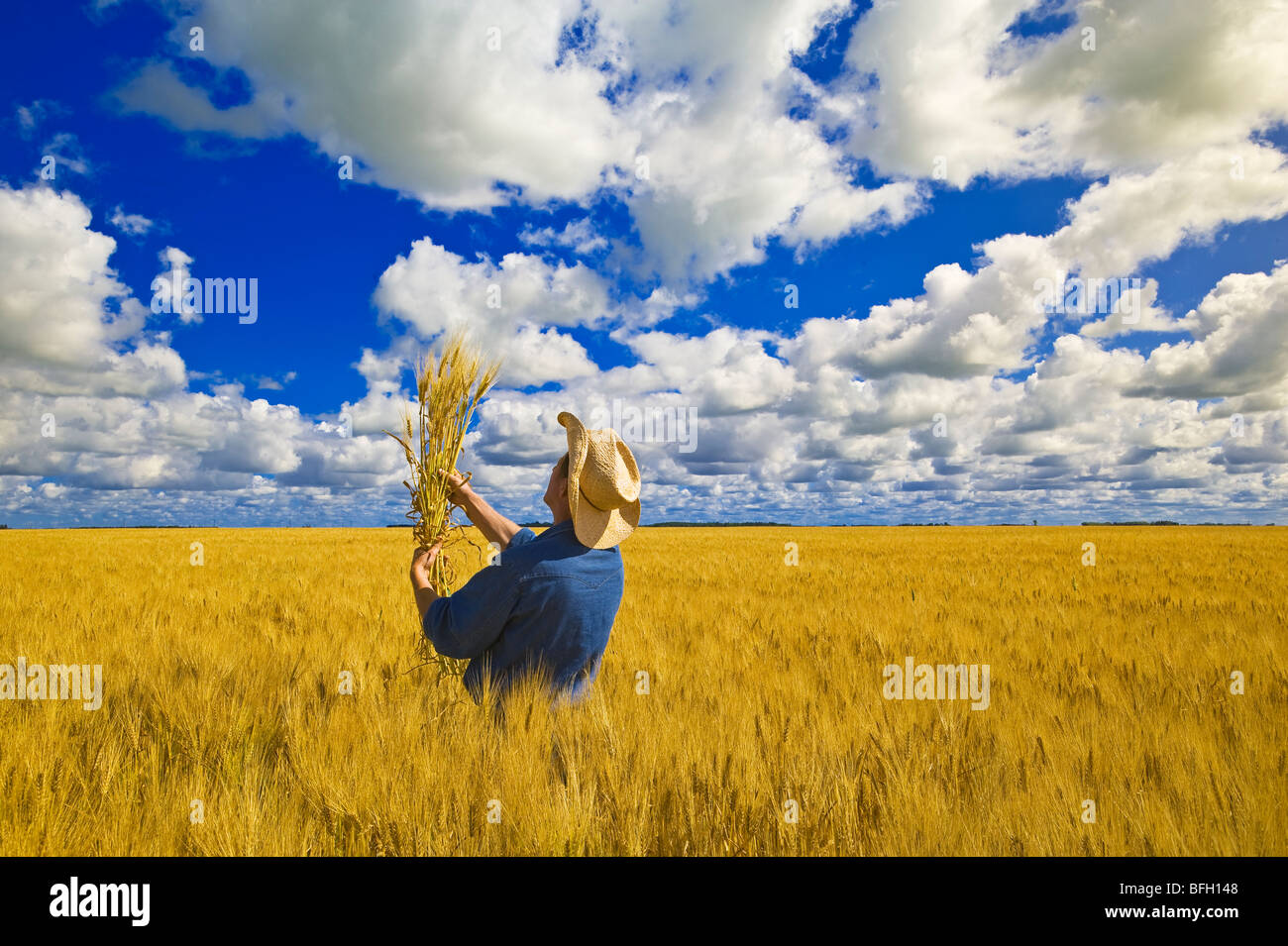 a man examines maturing spring wheat with a sky filled with cumulus clouds in the background, near Dugald, Manitoba, - Stock Image