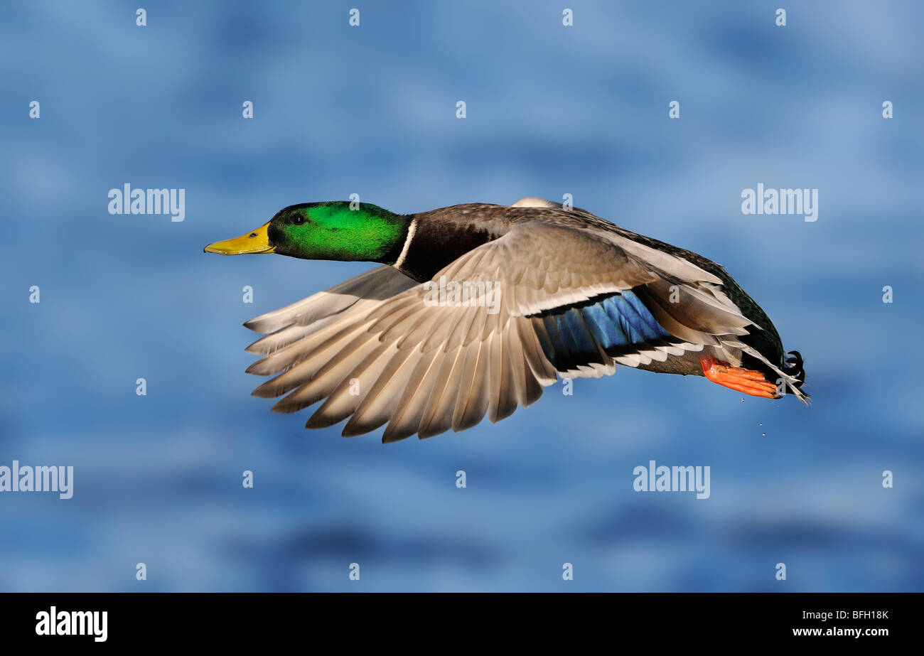 Male Mallard in flight at Esquimalt Lagoon, near Victoria, Canada - Stock Image
