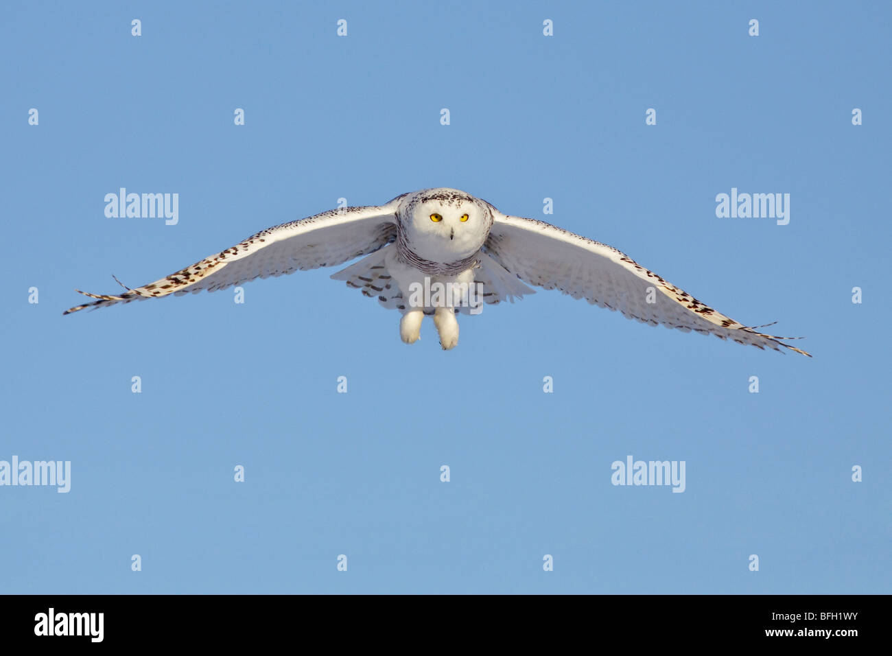 A young female snowy owl (Bubo scandiacus) hunting for rodents near Ottawa, Ontario, Canada. - Stock Image