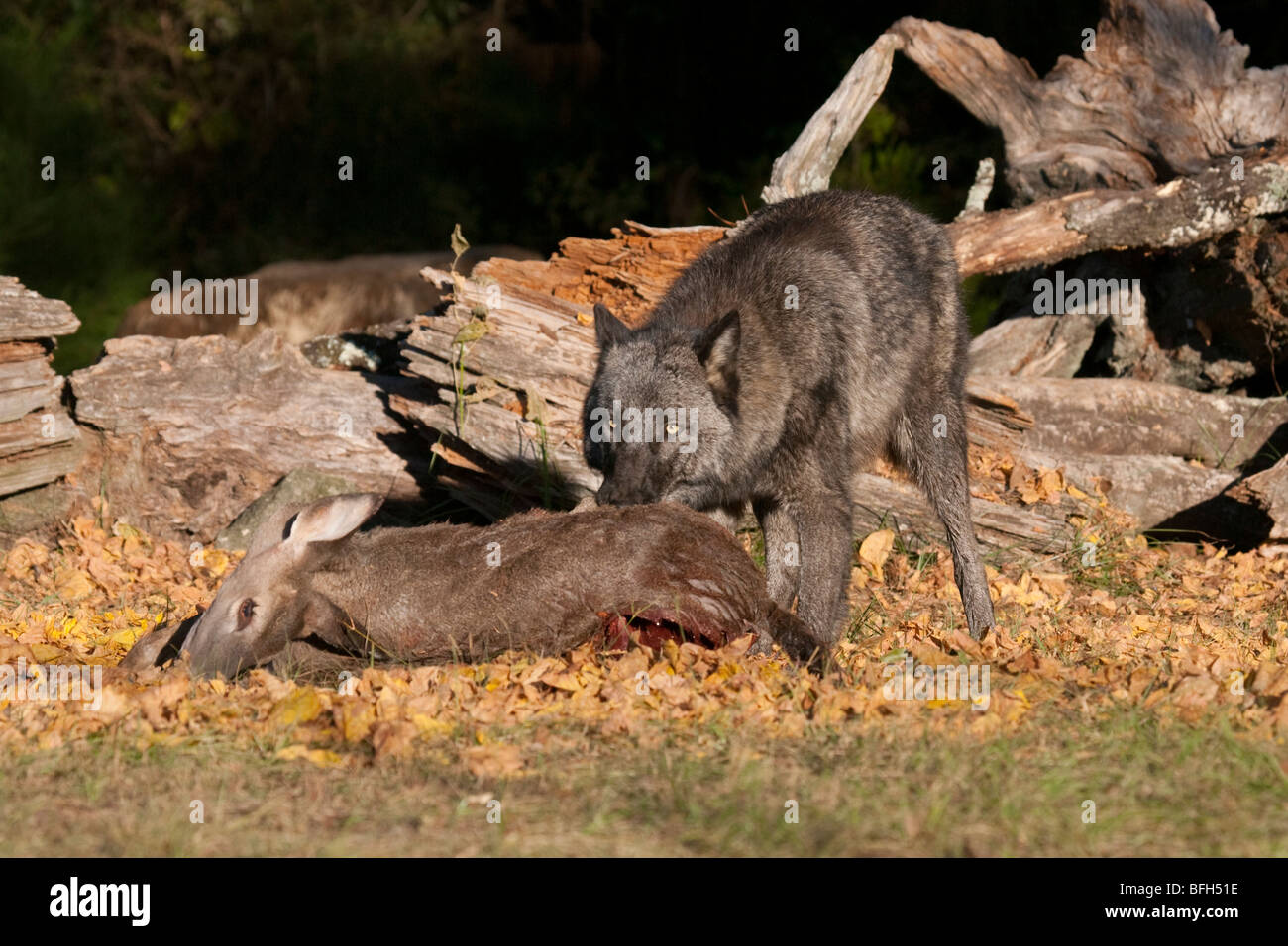 Timber or gray wolf with a deer carcass. - Stock Image