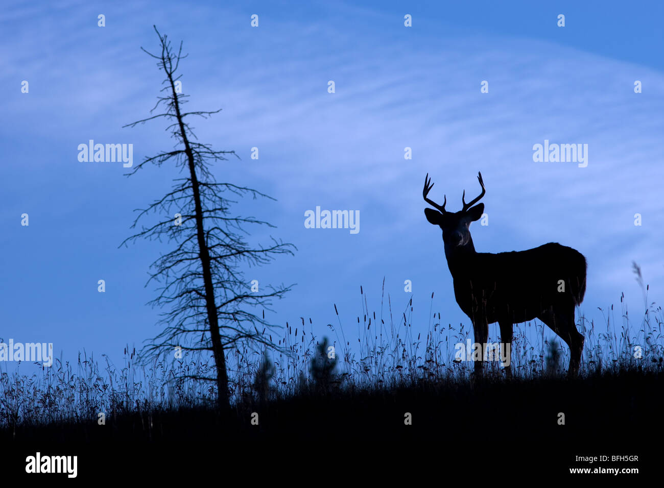 A White Tailed Dear (Odocoileus Virginianus) stands at attention on a hill in silhouette in Kananaskis Country, - Stock Image