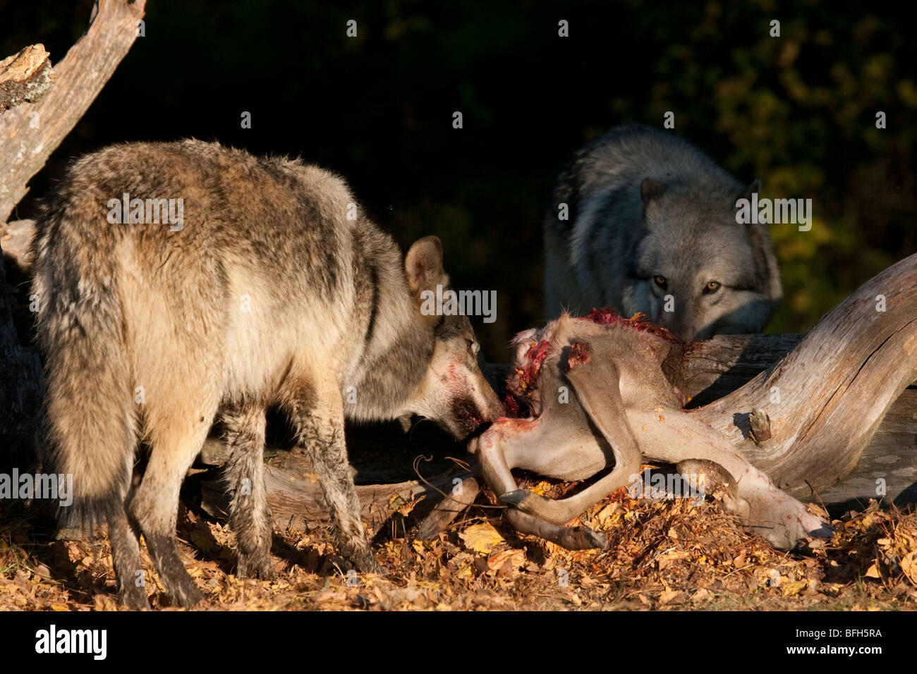 Wolves consume the remains of a deer carcas. - Stock Image
