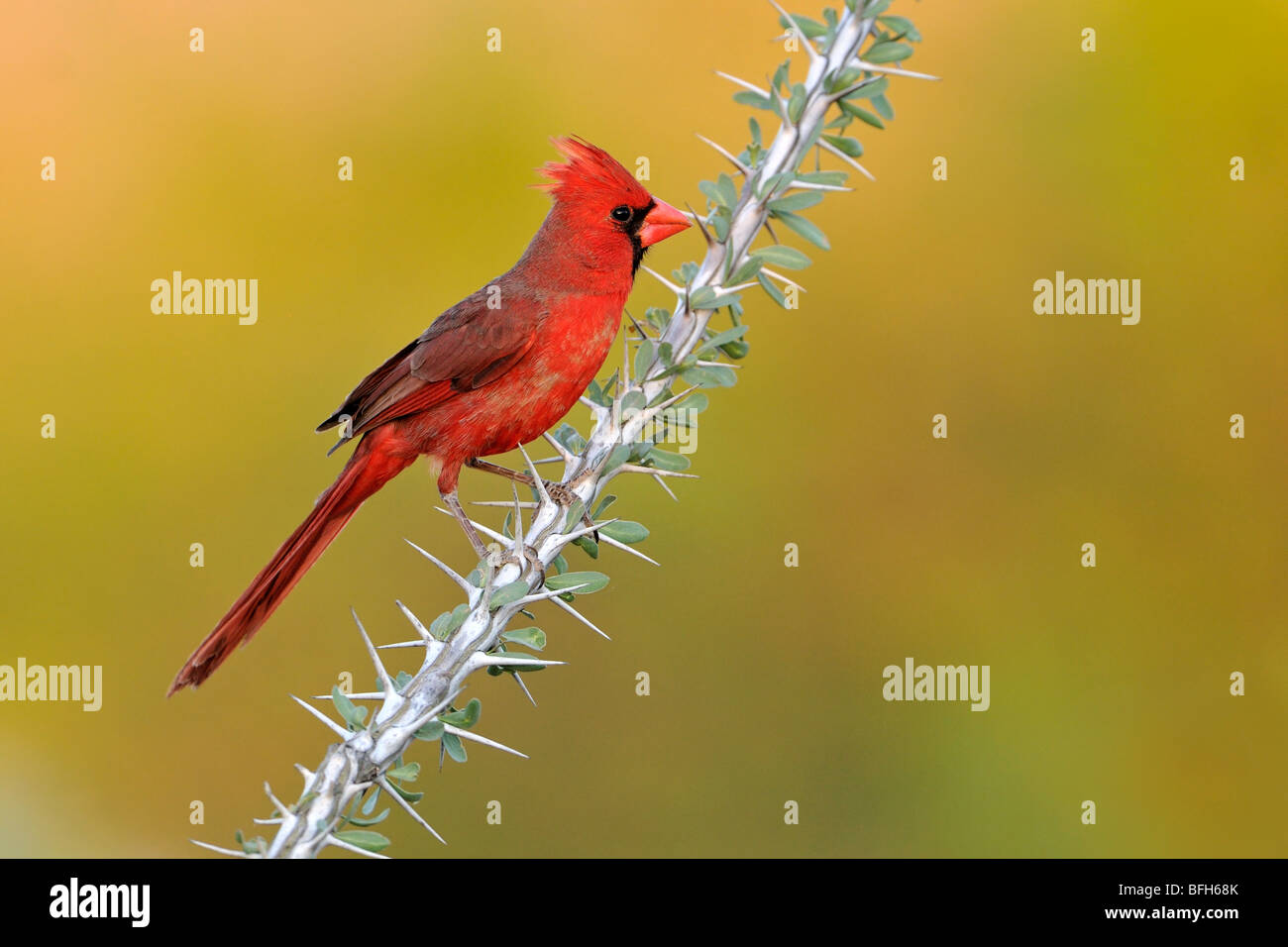 Northern Cardinal (Cardinalis cardinalis) perched on Ocotillo branch at Elephant Head Pond, Arizona, USA - Stock Image
