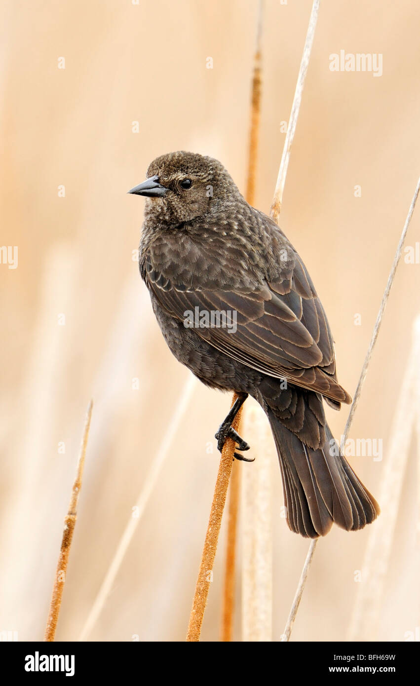 Tri-colored Blackbird (Agelaius tricolor) perched on reed at marsh nest site, Kern County, California, USA Stock Photo