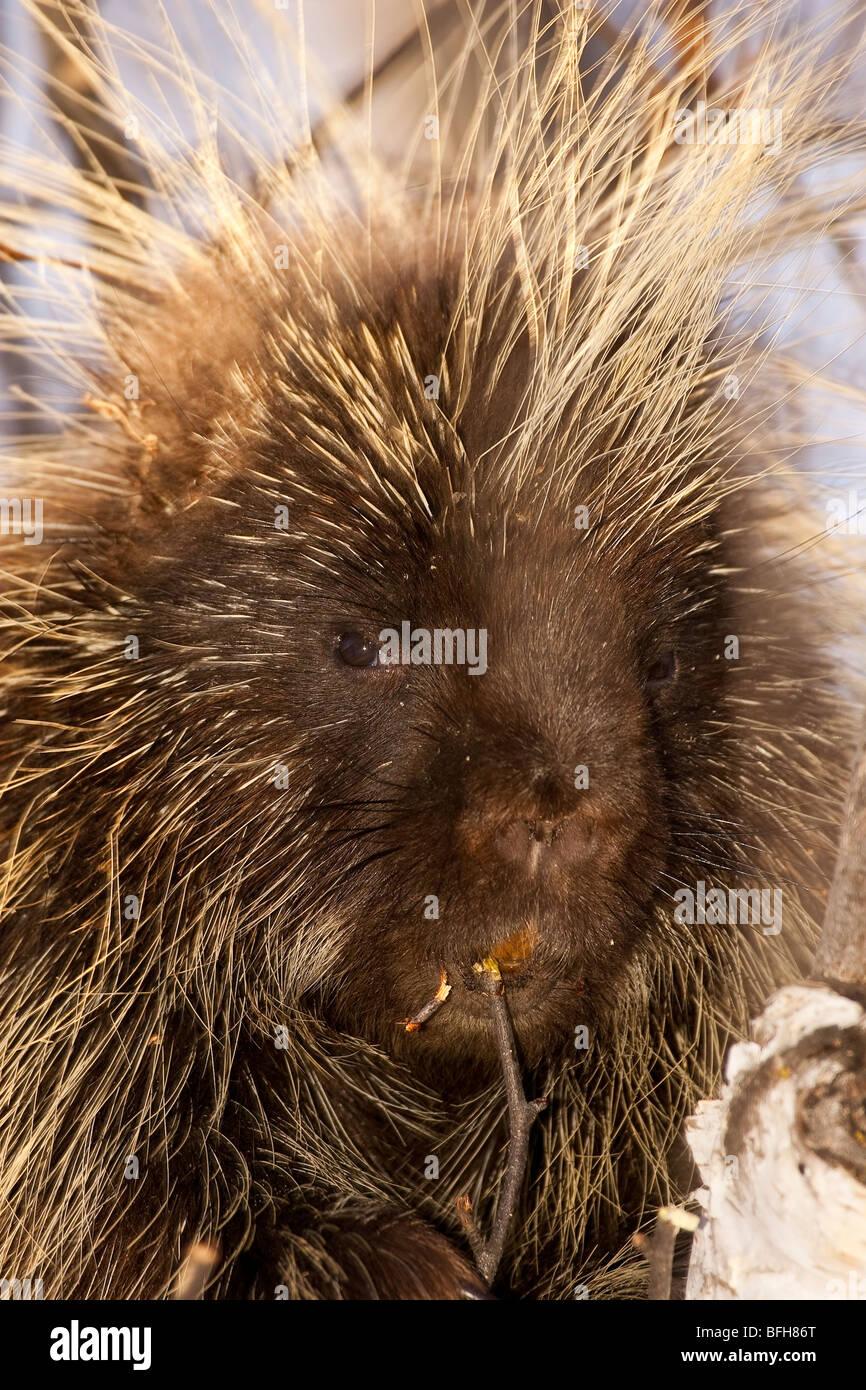 North American Porcupine, Erethizon dorsatum, near Edemonton, Alberta, Canada Stock Photo