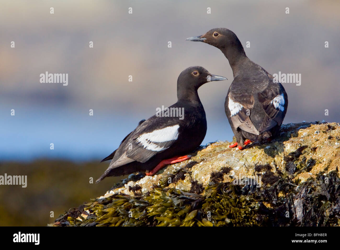 Pigeon Guillemots - (Cepphus columba) perched on a rock in Victoria, BC, Canada. - Stock Image