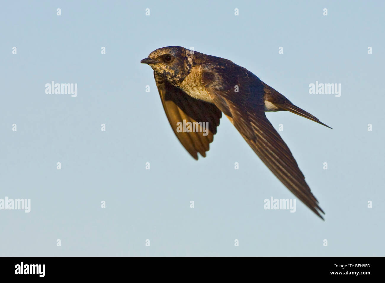 Purple Martin (Progne subis) in flight in Victoria, BC, Canada. - Stock Image