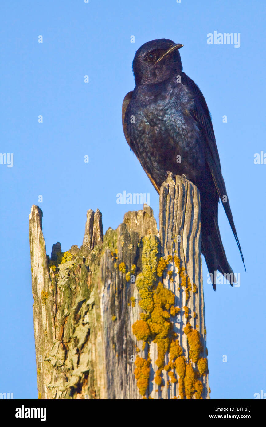 Purple Martin (Progne subis) perched on a branch in Victoria, BC, Canada. - Stock Image