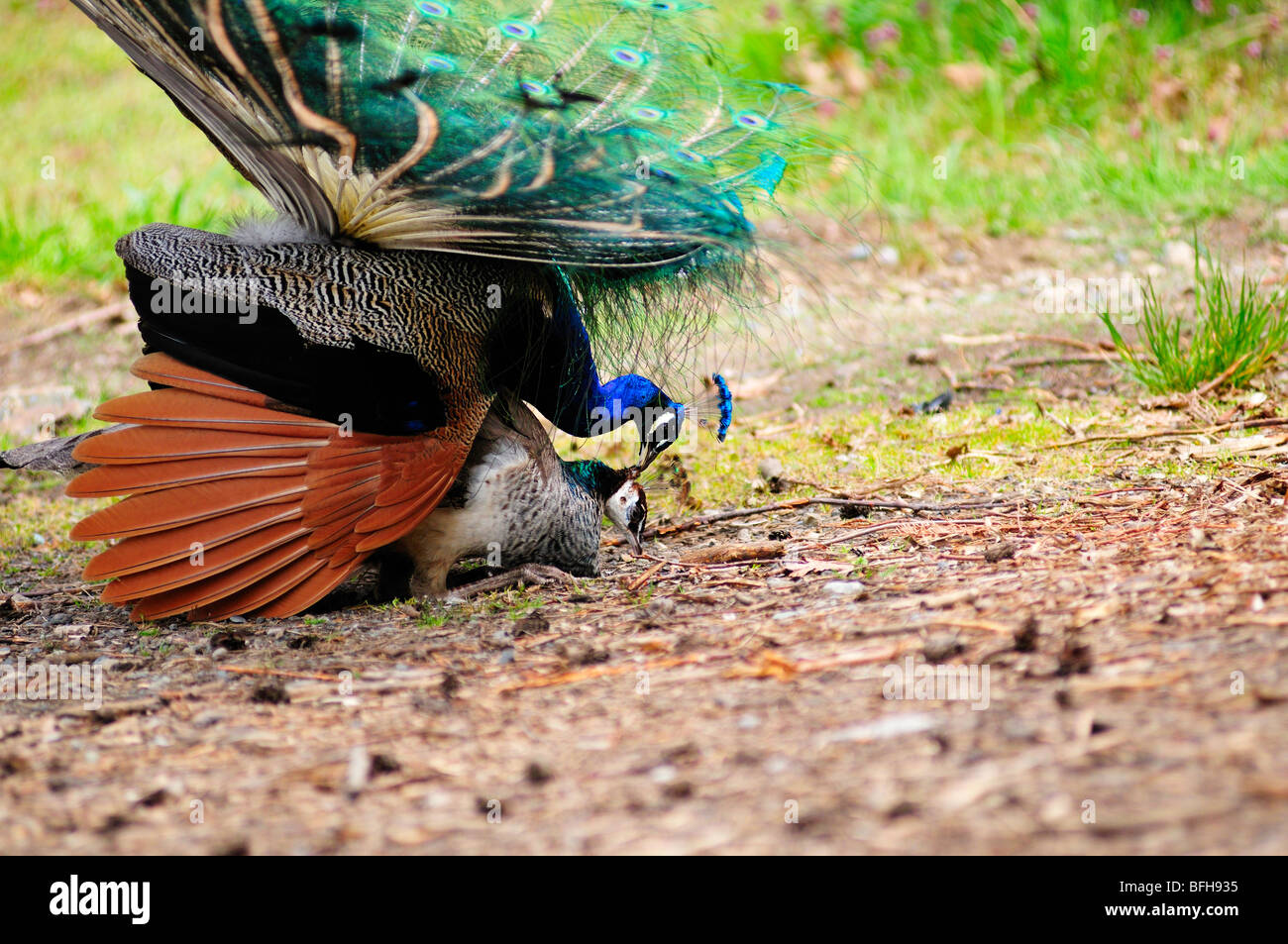 Male peacock mating with female peacock. Stock Photo