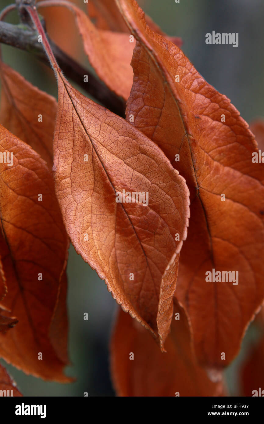 Autumn colors illustrated by red brown leaves hanging from a branch of a garden plum tree in portrait upright format - Stock Image