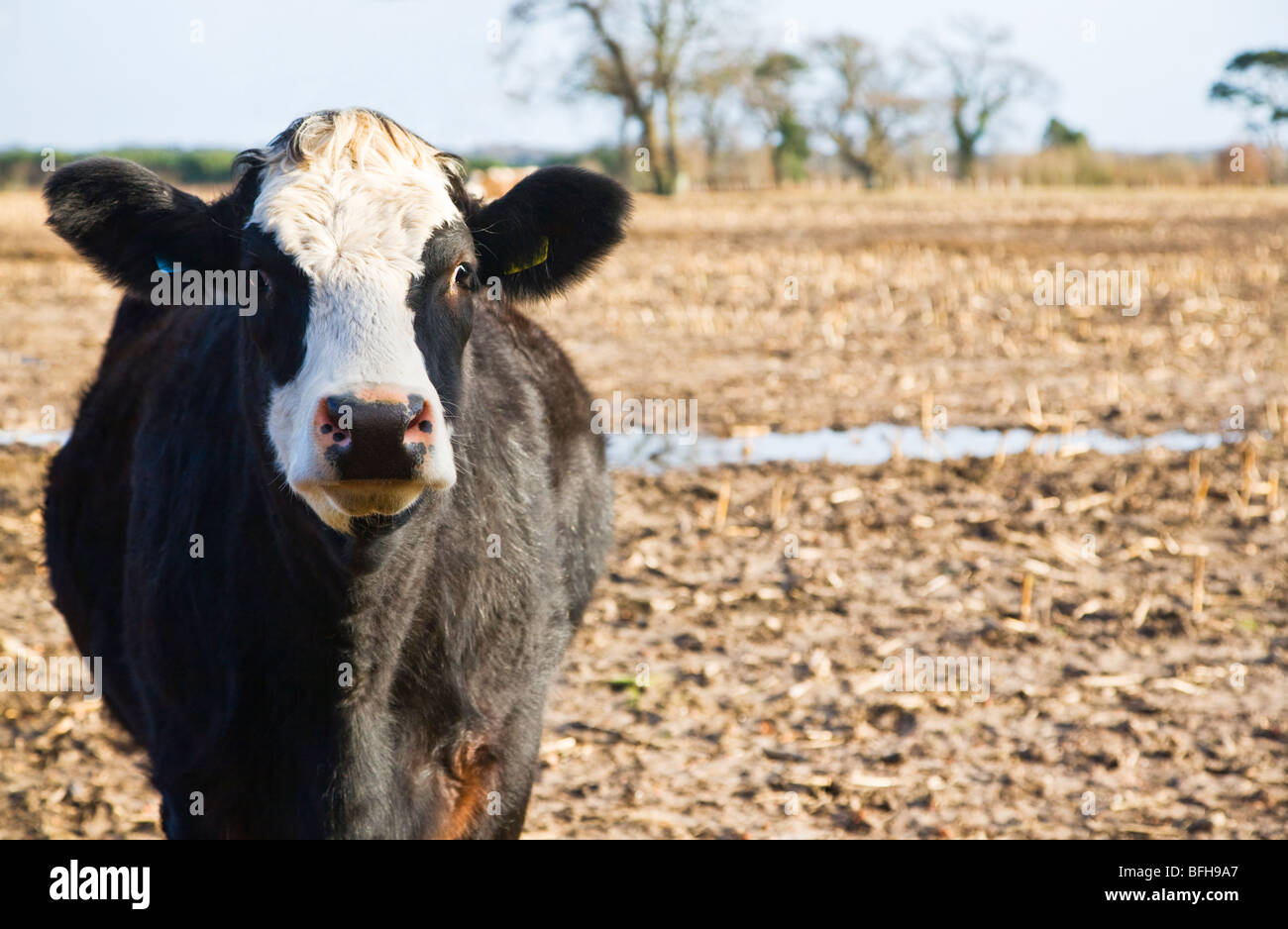 A black and white cow standing in an empty wet stubble field. Borders of Dorset and Hampshire. UK. Winter. Stock Photo