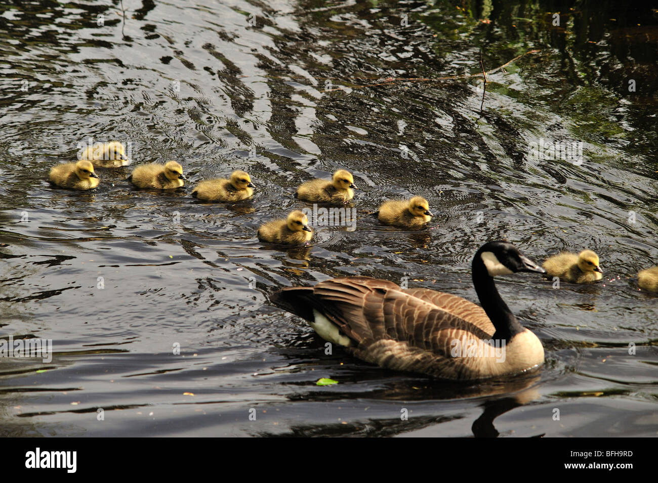 Canada goose (Branta canadensis) with goslings, Stanley Park, Vancouver, British Columbia, Canada - Stock Image