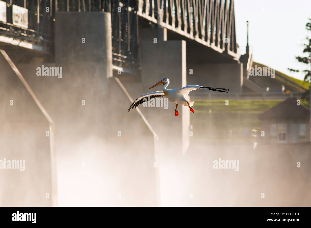 American White Pelican landing on Red River.  St. Andrews Lock and Dam a national historic site located in Lockport - Stock Image