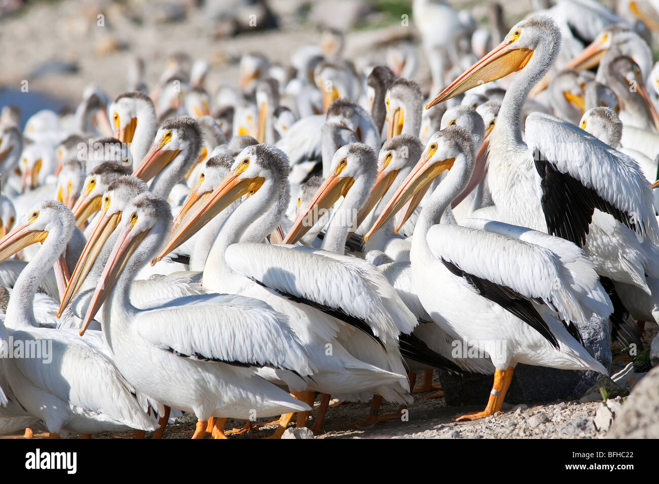 American White Pelicans on bank of the Red River.  Lockport, Manitoba, Canada. - Stock Image