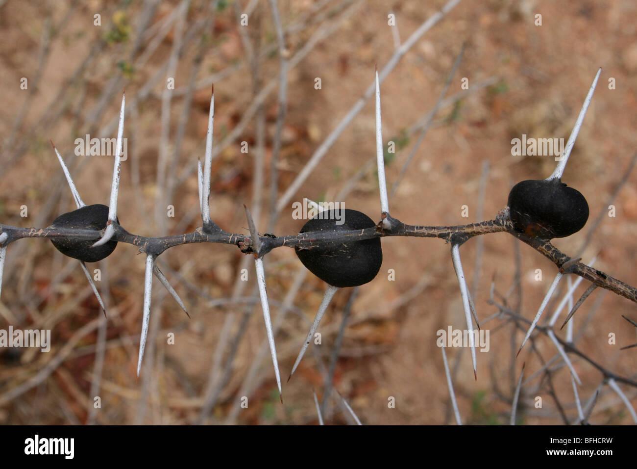 Swollen Bulbous Thorns Of The Whistling Thorn Acacia drepanolobium Taken Near Yaeda Cheni, Tanzania - Stock Image