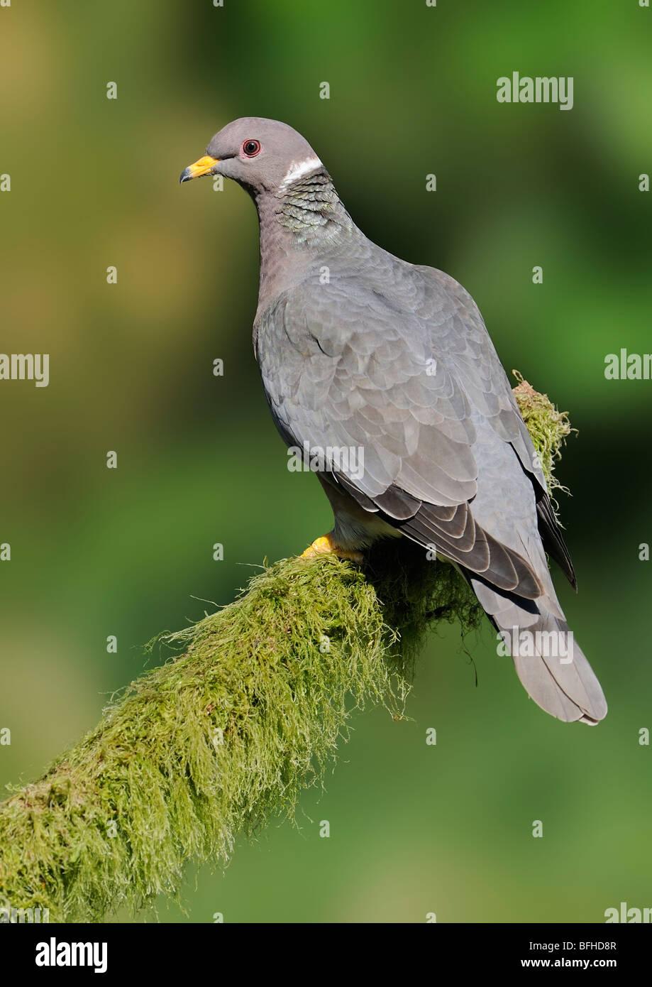 Band-tailed Pigeon (Patagioenas fasciata) on perch Victoria BC, Canada - Stock Image
