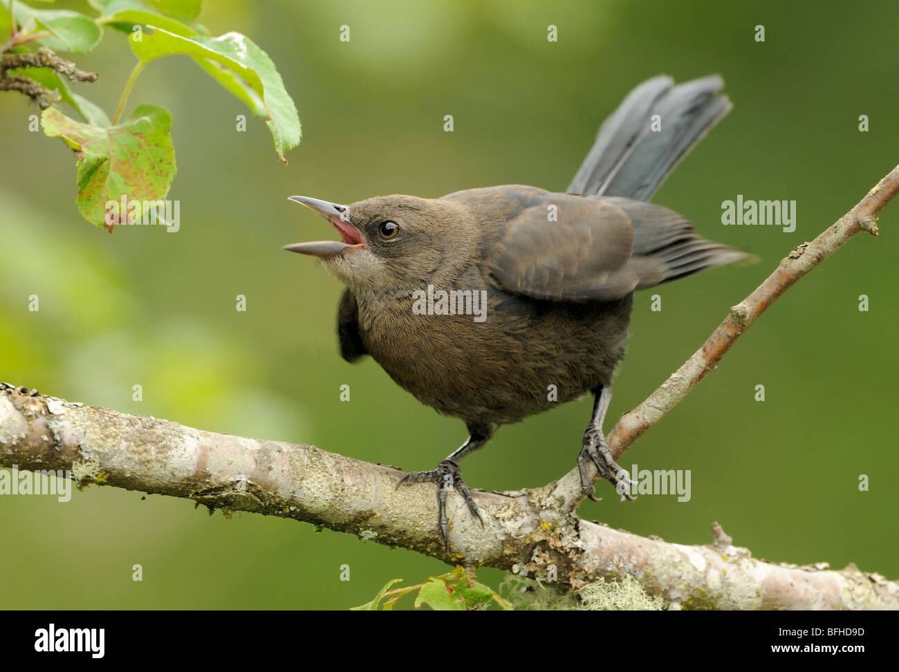 Juvenile Brewer's Blackbird begging for food - Victoria BC, Canada - Stock Image