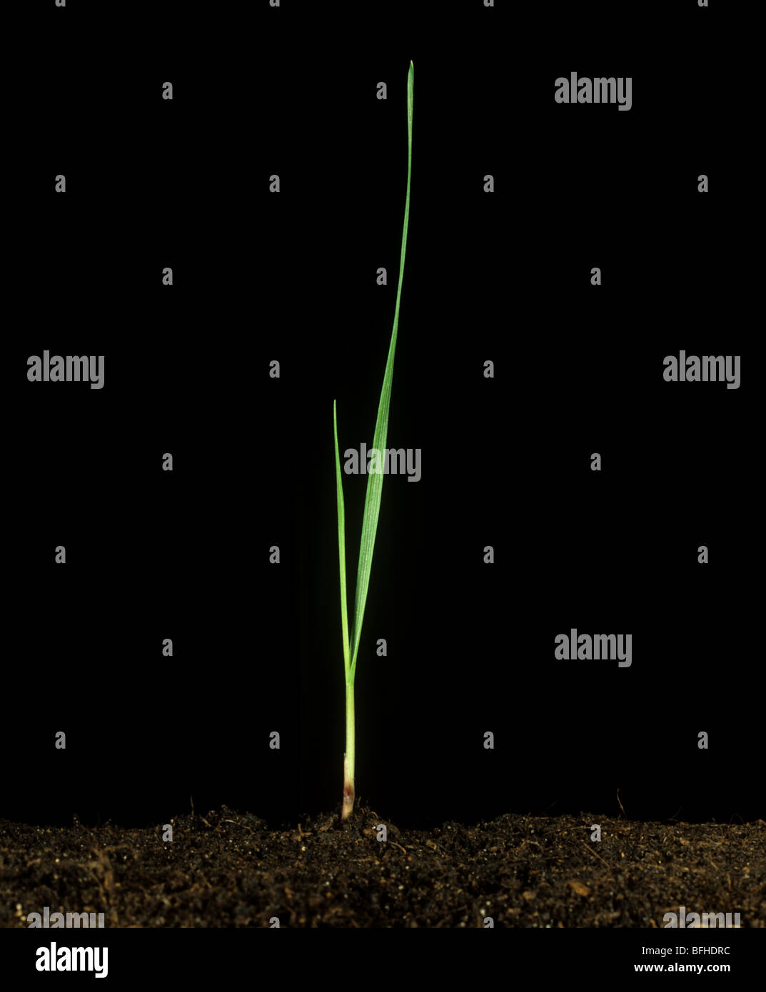 Short-leaved canary grass (Phalaris brachystachys) seedling plant - Stock Image