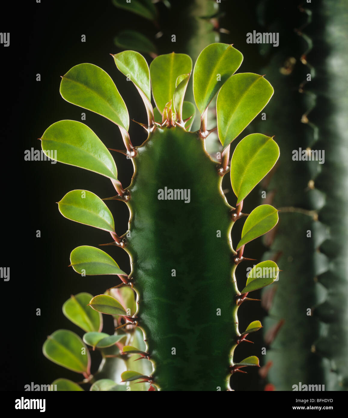 Leaves on the growing point of a cowboy cactus or candelabra tree (Euphorbia ingens) - Stock Image