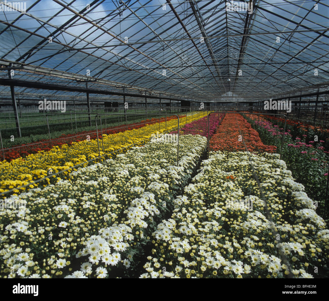 Large glasshouse with flowering spray Chrysanthemum crop, Sandy, Bedfordshire - Stock Image